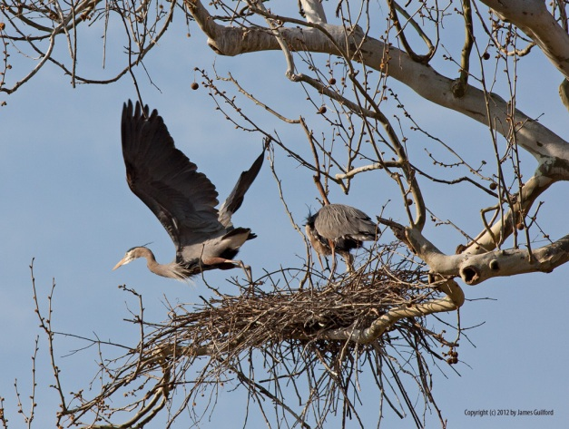 Photo: Great Blue Heron takes off from its nest. Photo by James Guilford