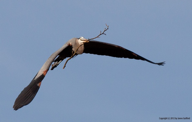 Photo: Heron in flight carrying stick for nest. Photo by James Guilford.