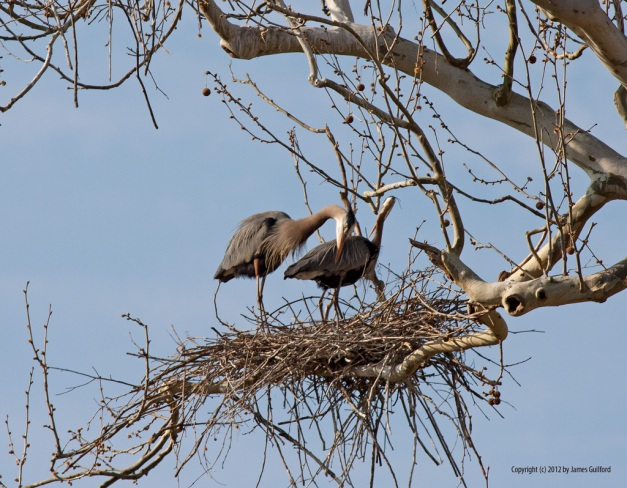 Photo: Herons on their nest. Photo by James Guilford