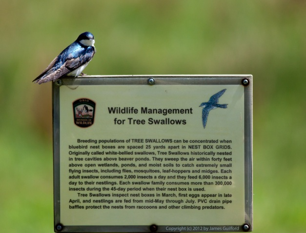 Photo: Tree Swallow perched on sign. Photo by James Guilford.