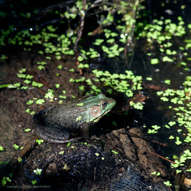 Photo: Green Frog on a Log. Photo by James Guilford.