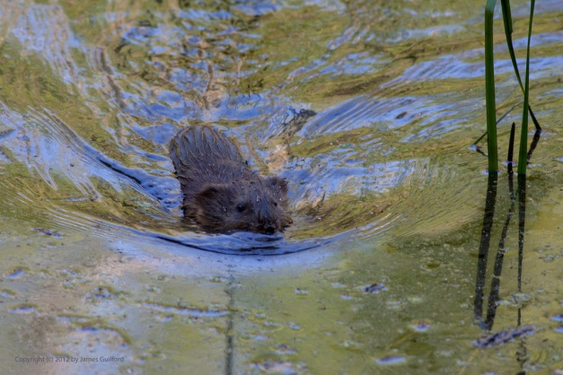 Photo: Muskrat swimming. Photo by James Guilford