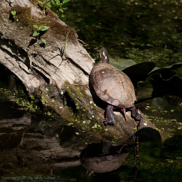 Photo: Pond turtle on a log.