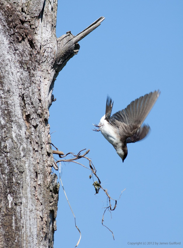 Photo: Tree Swallow diving from her nesting hole. Photo by James Guilford.