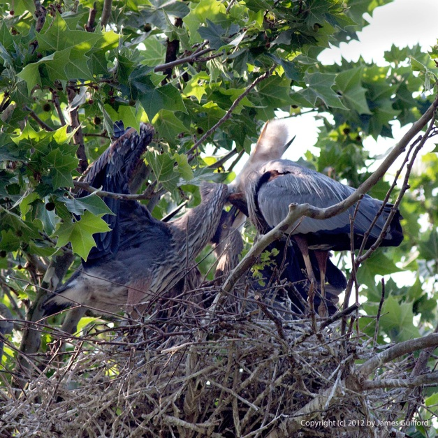 Photo: Great Blue Heron feeding its young. Photo by James Guilford.