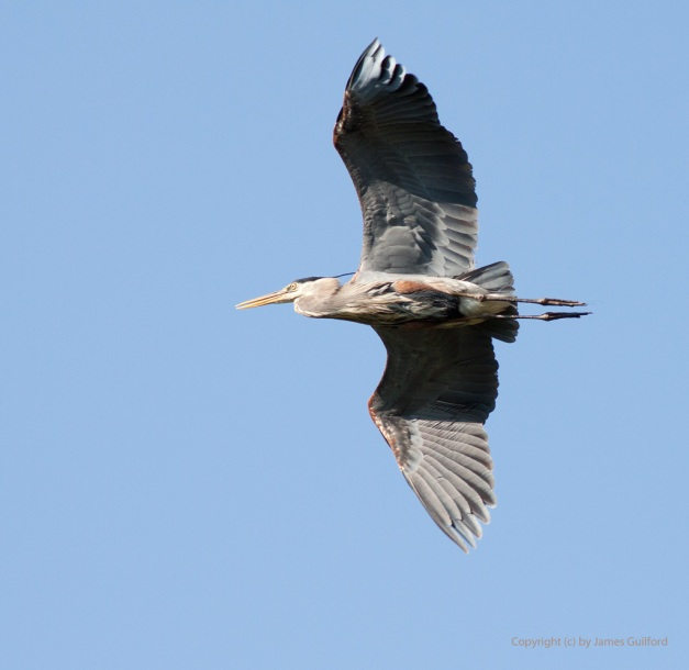 Photo: Great Blue Heron against a clear, blue sky. Photo by James Guilford.