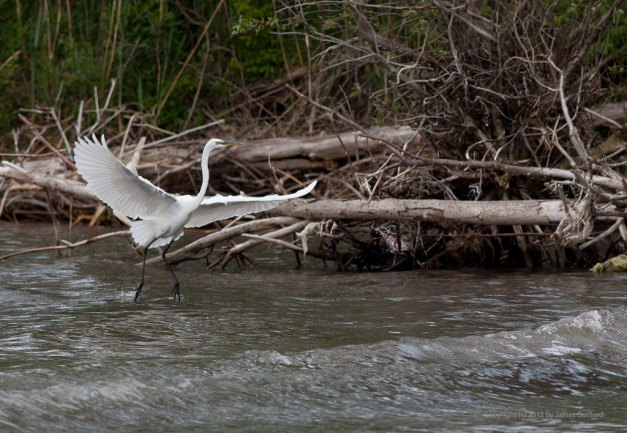 Photo: Great Egret landing on a Lake Erie beach. Photo by James Guilford