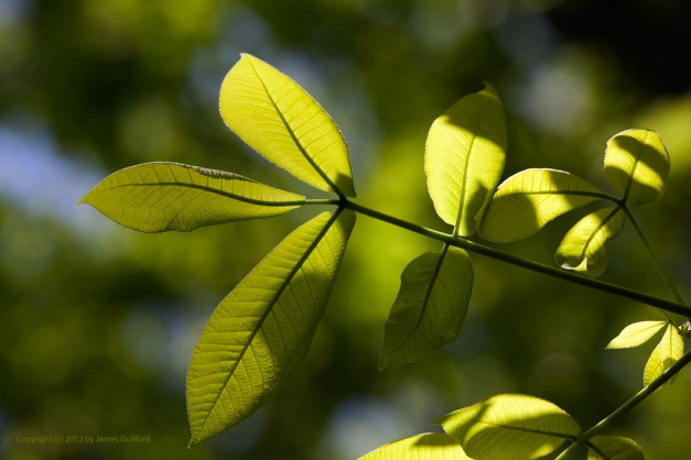 Photo: Sunlit leaves from underneath.