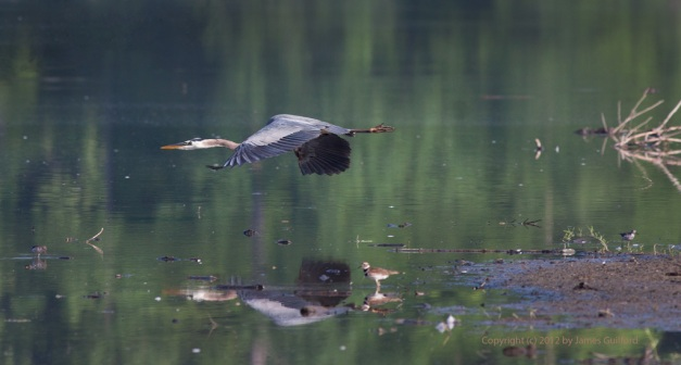 Photo: Great Blue Heron flying low over shallow water. Photo by James Guilford.