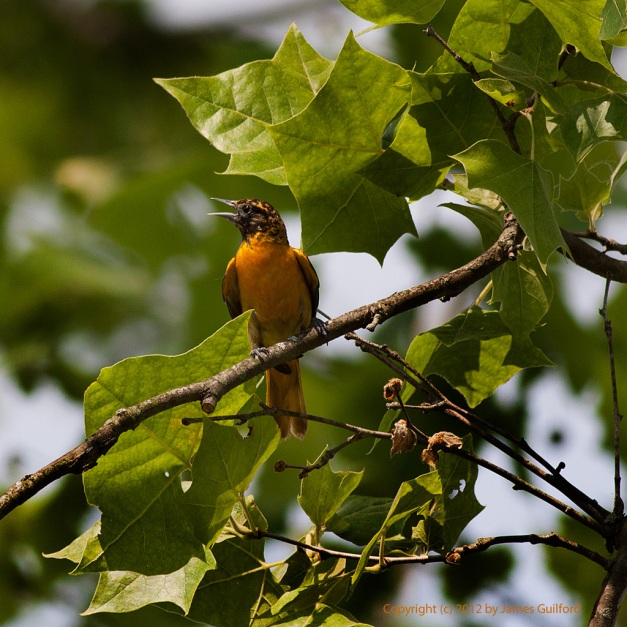 Photo: Baltimore Oriole (Icterus galbula) perched on a branch. Photo by James Guilford.
