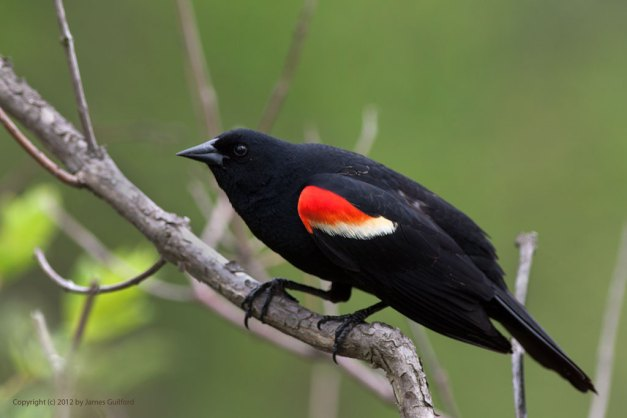 Photo: Redwinged Blackbird. Photo by James Guilford.