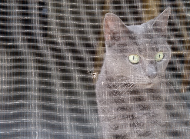 Photo: Tasha the cat looking through a screen. Photo by James Guilford.