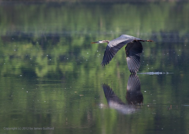 Photo: Great Blue Heron flies low over water. Photo by James Guilford.
