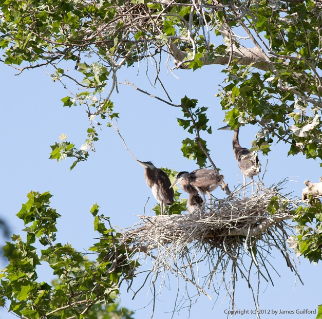 Photo: Family of Great Blue Herons in their nest. Photo by James Guilford.