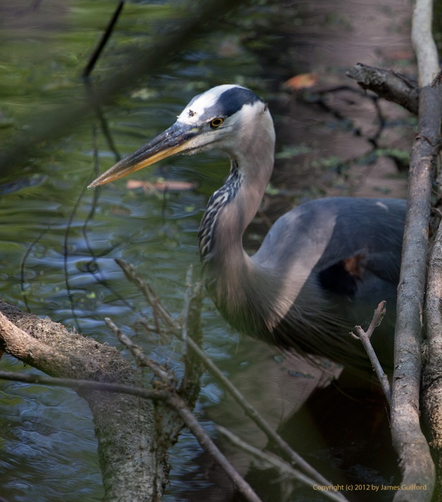 Photo: Young Great Blue Heron wading shallows, seeking food. Photo by James Guilford.
