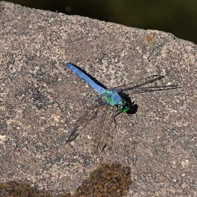 Photo: Adult dragonfly resting on a rock. Photo by James Guilford.