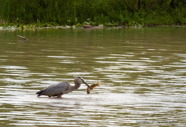 Photo: Great Blue Heron with fresh-caught fish in beak. Photo by James Guilford.