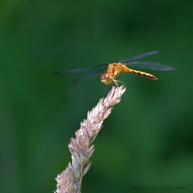 Photo: Yellow dragonfly perched on grass seed head. Photo by James Guilford.