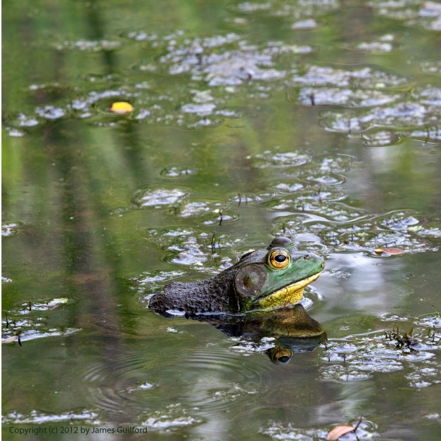 Photo: Bullfrog in reflective water.
