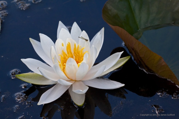 Photo: Water lily in full bloom with damselfly perched atop. Photo by James Guilford.