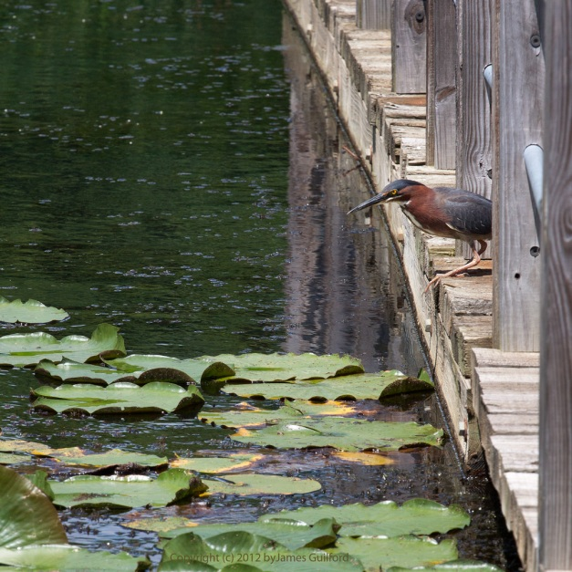 Photo: Green Heron peering from edge of boardwalk. Photo by James Guilford