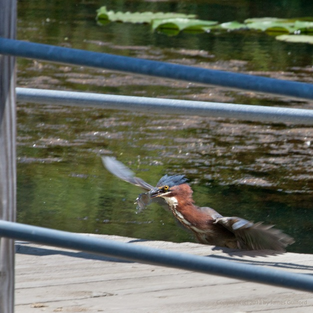 Photo: Green Heron with a fish it caught. Photo by James Guilford.