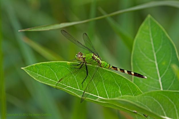 Photo: Green dragonfly on a green leaf. Photo by James Guilford.