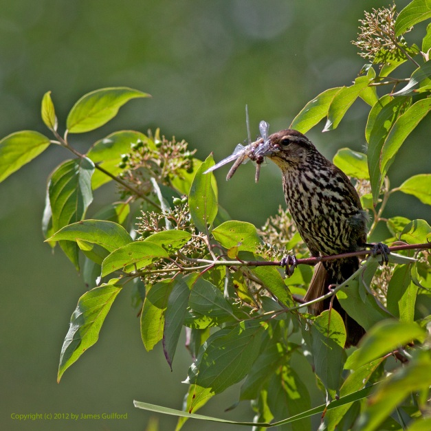 Photo: Red-winged Blackbird (female) with insects in beak. Photo by James Guilford.