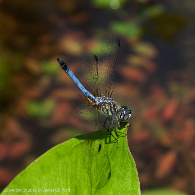 Photo: Blue dragonfly by James Guilford.