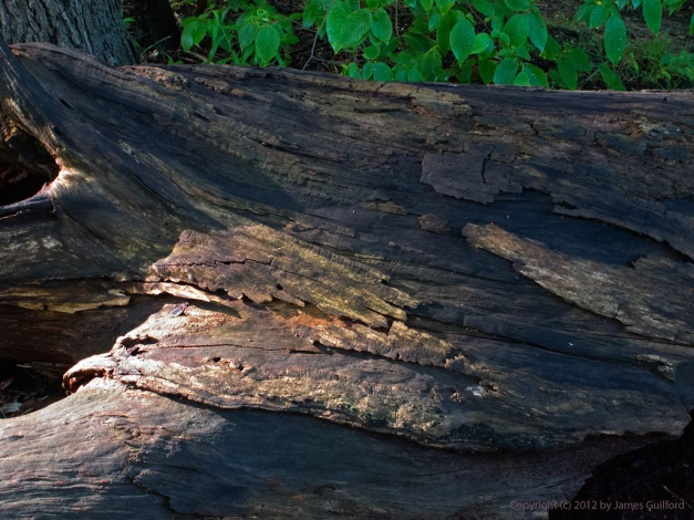 Photo: Damp, rotting log in the woods. Photo by James Guilford.