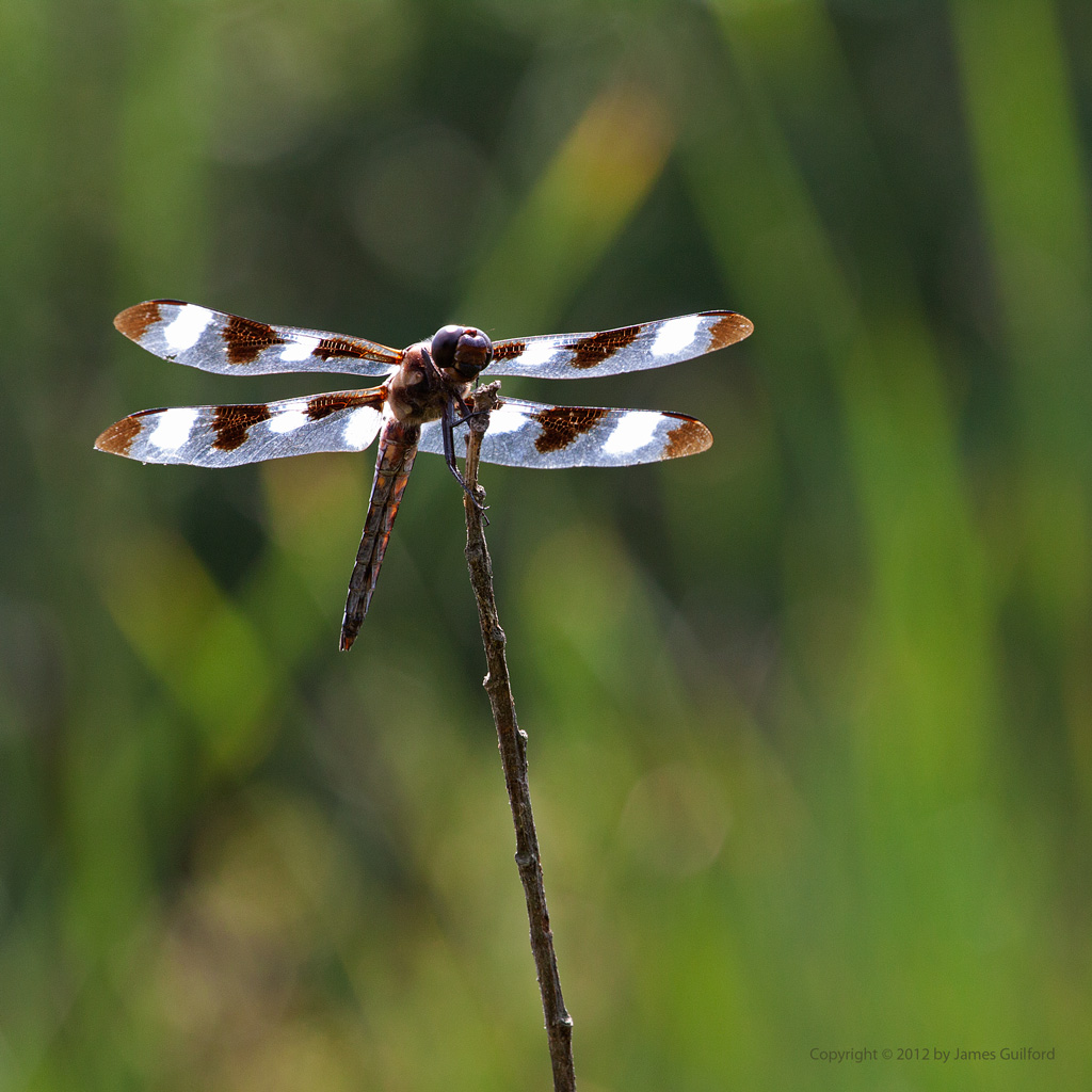 Photo: 12-Spotted Skimmer dragonfly. Photo by James Guilford.
