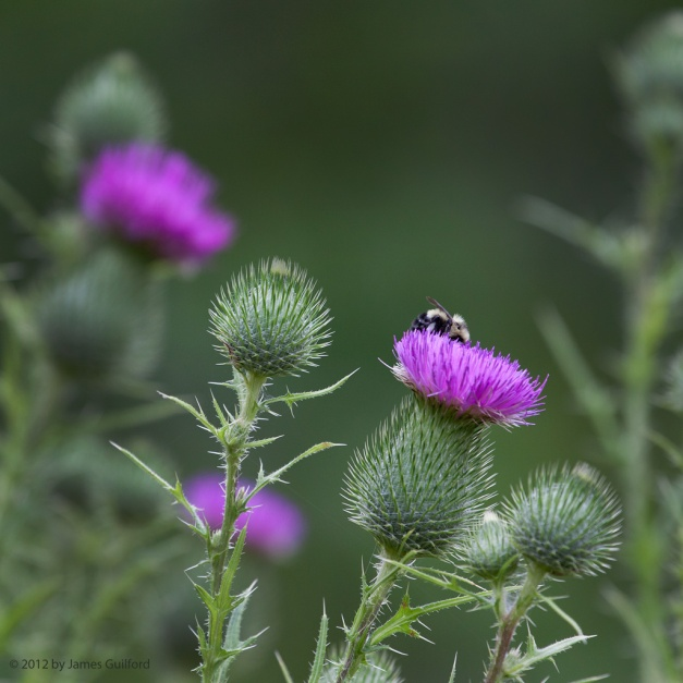Photo: Bee probes a thistle flower for food. Photo by James Guilford.