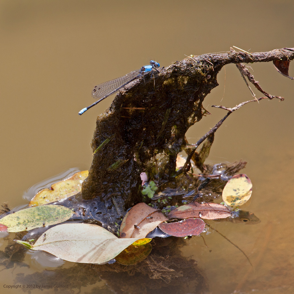 Photo: Damselfly perched on a submerged twig. Photo by James Guilford.