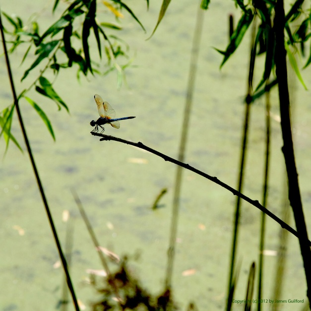 Photo: Dragonfly perched on a curved twig.