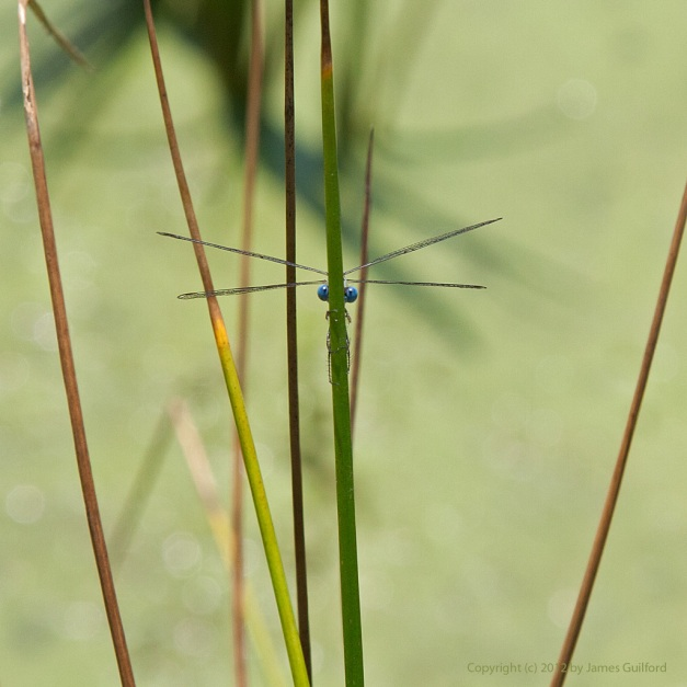 Photo: Eyes and wings of damselfly that clings to a reed. Photo by James Guilford.
