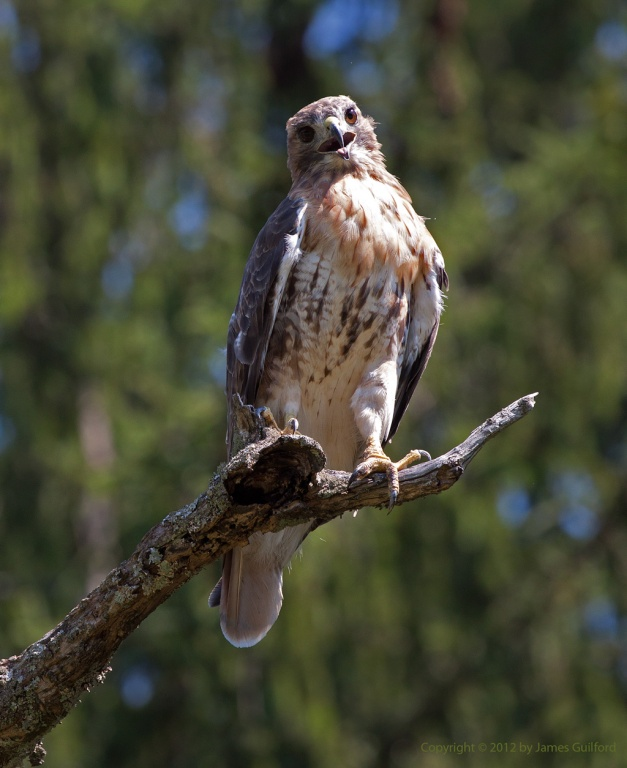 Photo: Hawk perched on a tree limb. Photo by James Guilford.