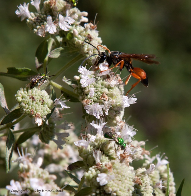 Photo: Orange wasp forages flowers. Photo by James Guilford.