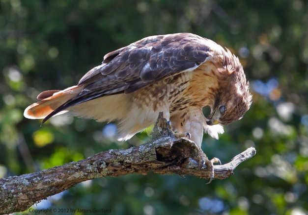 Photo: Hawk preening while perched on a tree limb. Photo by James Guilford.
