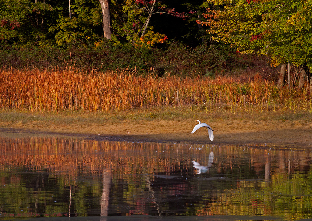 Photo: A Great Egret takes flight among autumn colors. Photo by James Guilford.