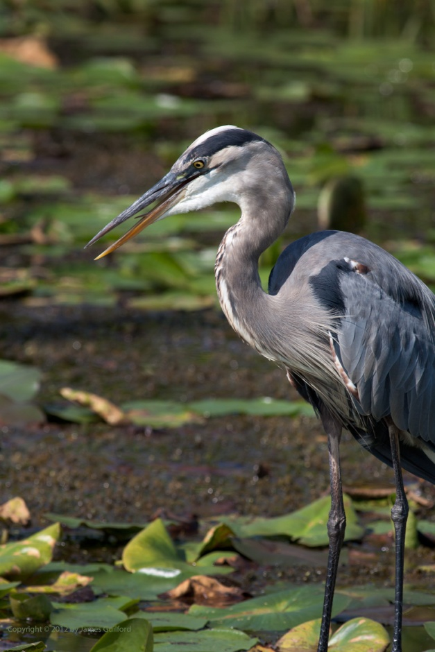 Photo: Juvenile Great Blue Heron. Photo by James Guilford.
