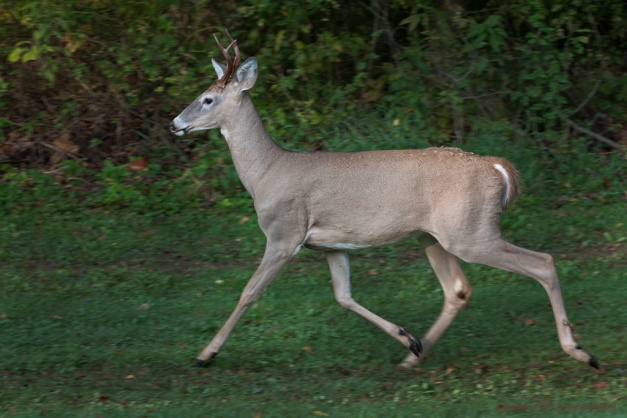Photo: Young buck Whitetail Deer trotting. Photo by James Guilford.
