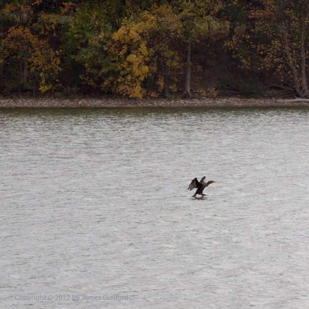 Photo: Double-Crested Cormorant landing. Photo by James Guilford.