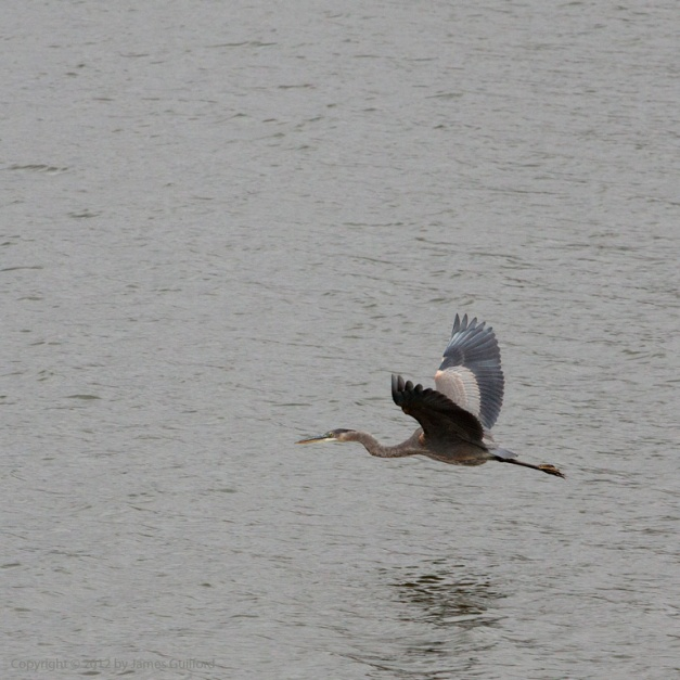 Photo: Great Blue Heron in low flight. Photo by James Guilford.