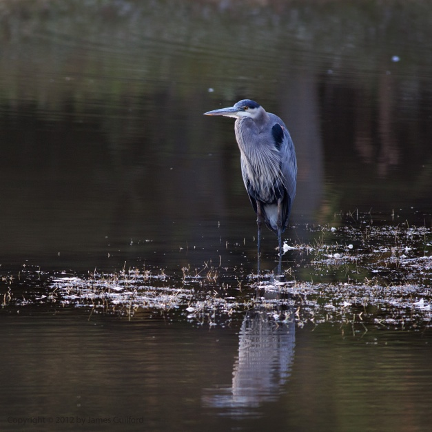 Photo: Great Blue Heron on a sand bar. Photo by James Guilford.