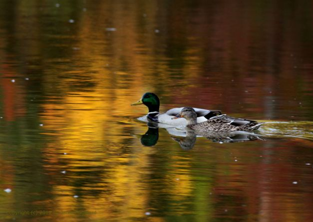 Photo: Mallard ducks swim waters reflecting autumn color. Photo by James Guilford.