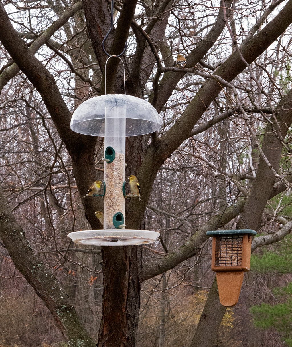 Photo: Goldfinches on bird feeder. Photo by James Guilford.