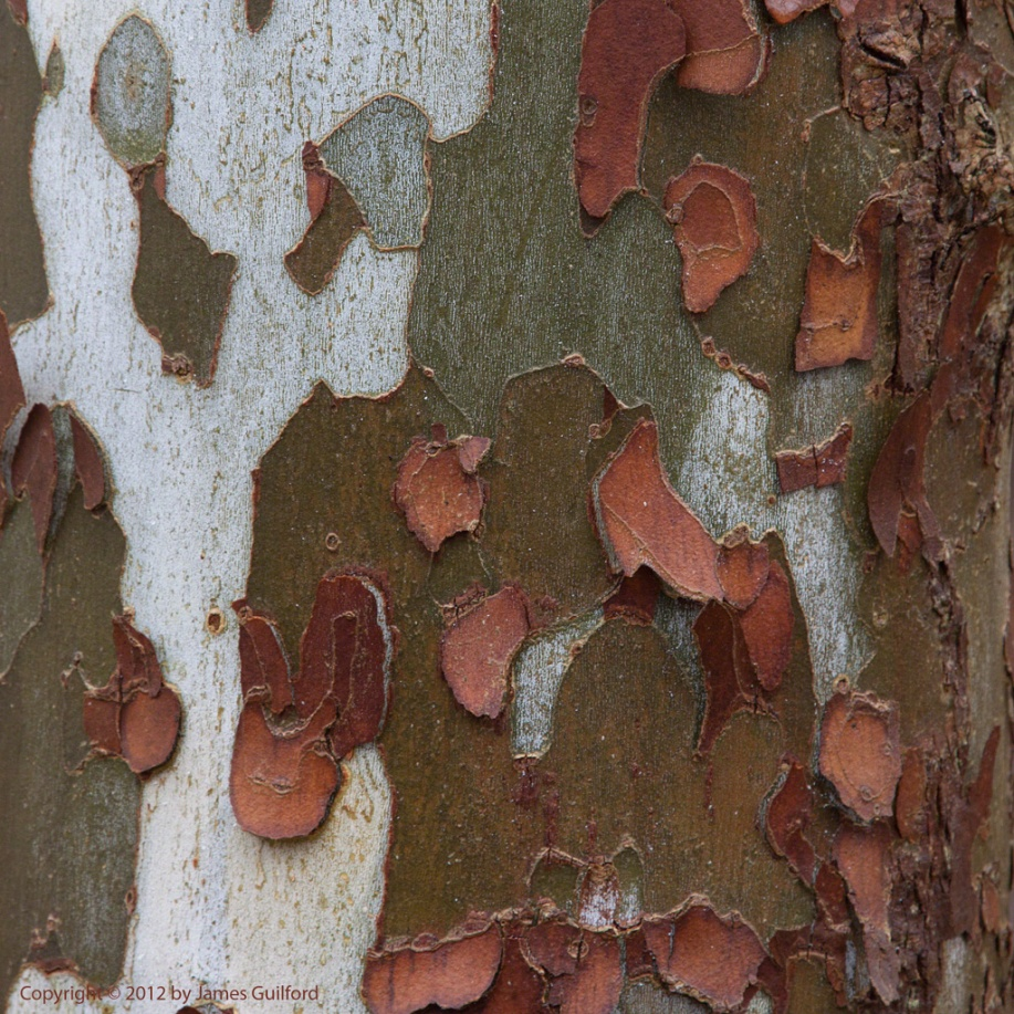 Photo: Scaling bark on a tree. Photo by James Guilford