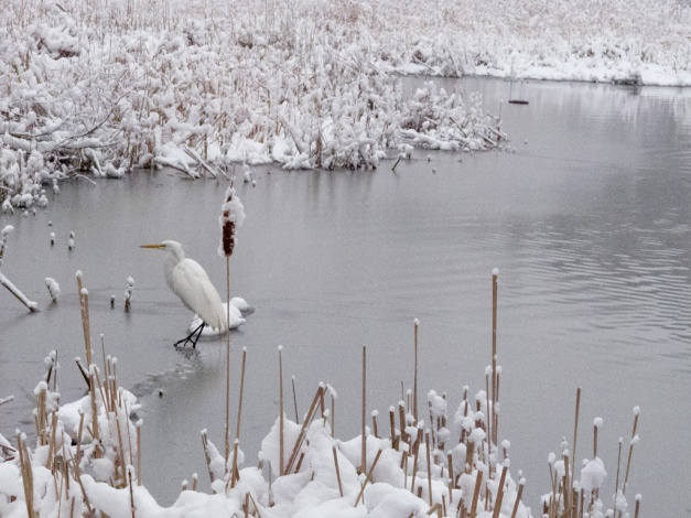 Photo: Great Egret fishing snowy pond. Photo by James Guilford.