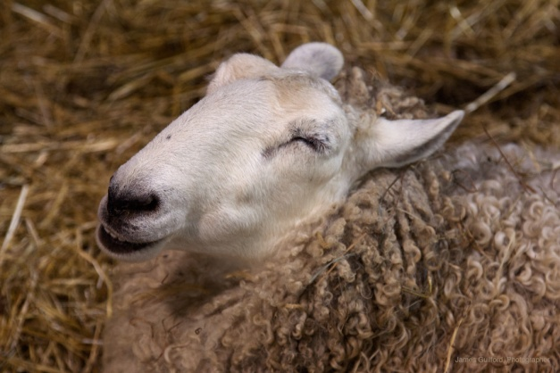 Photo: Sheep in bed of hay. Photo by James Guilford.