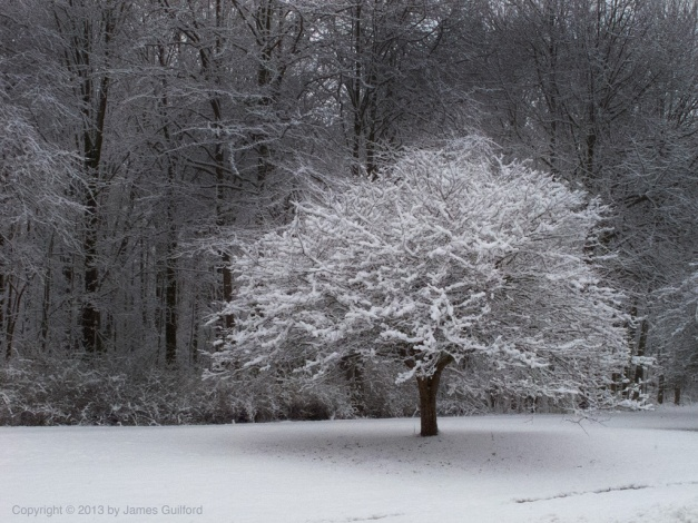 Photo: Snow-covered tree against dark treeline. Photo by James Guilford.
